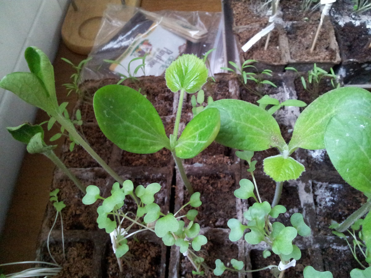 The zucchini seedling has grown into a beautiful plant, now with leaves.