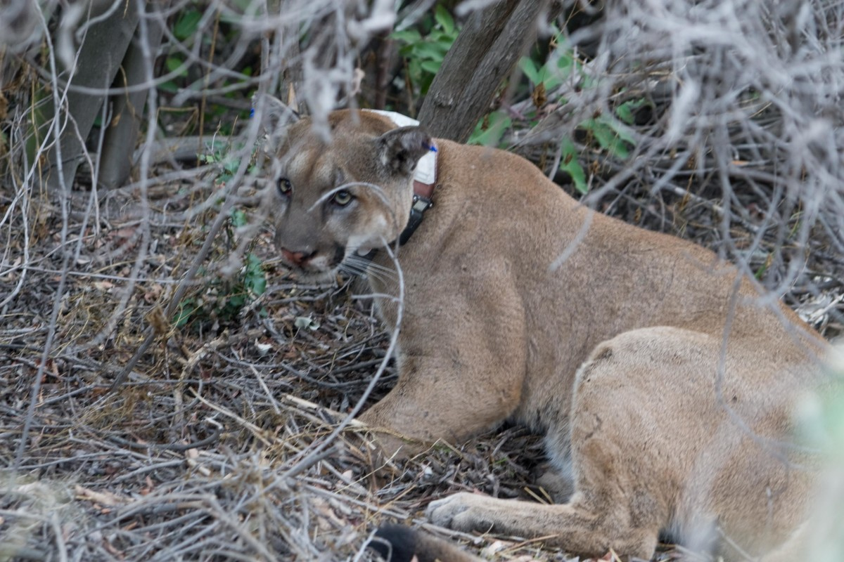 Mountain lions are just one of America's wildlife that can be seen at Zoo American in Hershey, PA.