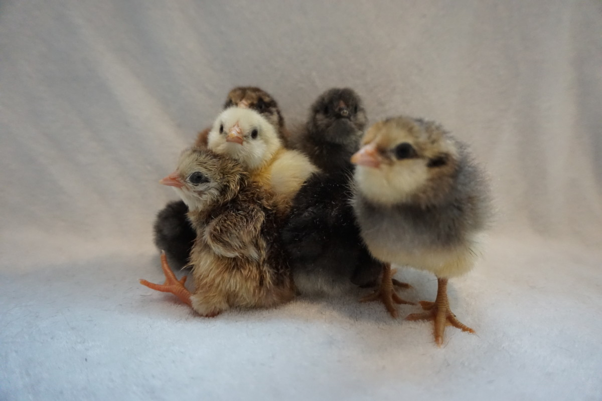 These cute little fluffballs made it successfully out of their eggs. A perfect hatch is when 100% of chicks hatch. This is considered a rarity in the hobby of chicken raising