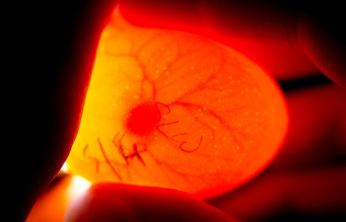 Candling eggs on day seven of incubation reveals a very alive and growing embryo.