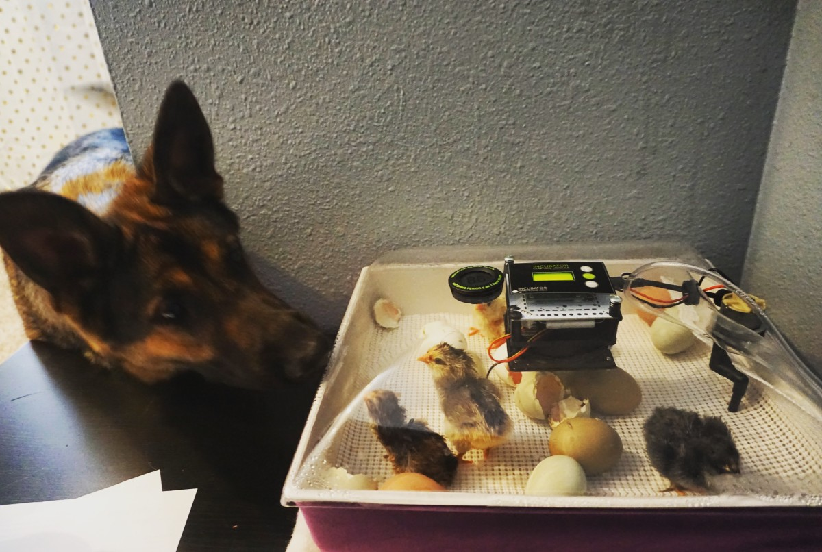 The family dog meeting new chicks. It truly feels like Christmas when those chicks hatch out