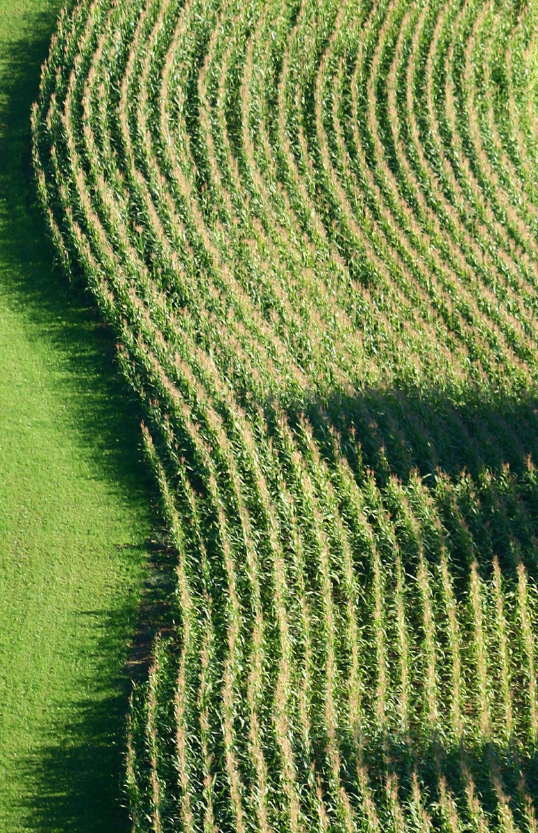 Corn in the field nearing perfection. Photo courtesy mazupan at sxc.hu.