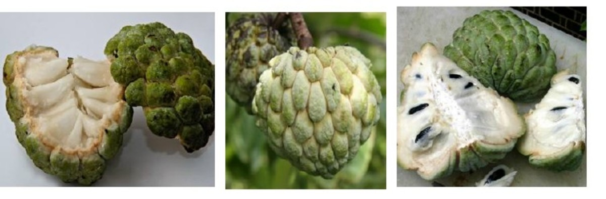 Custard apples are only eaten when soft and only the flesh is eaten.
