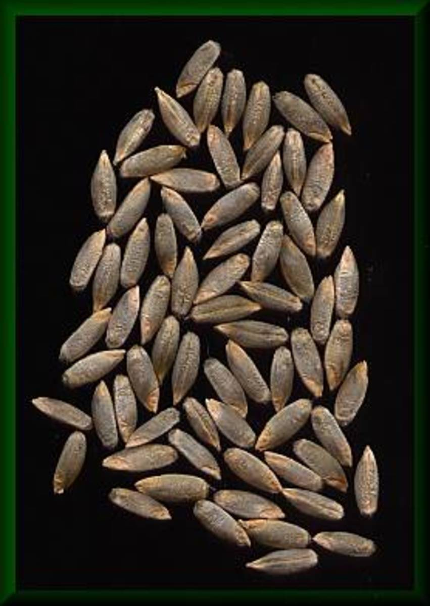 Rye seeds.