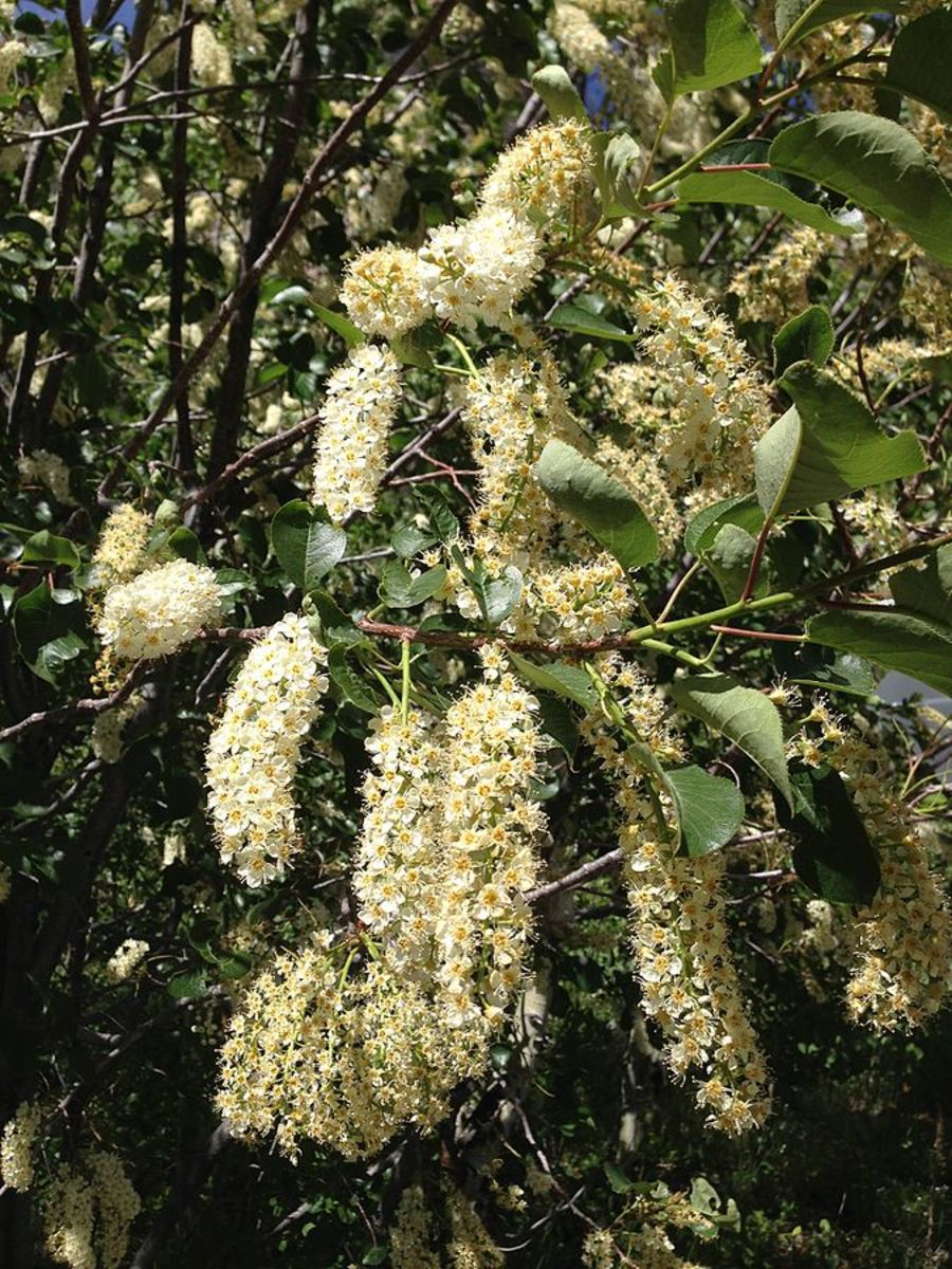 Chokecherry trees are so pretty when they are in bloom as can be viewed in this photo.