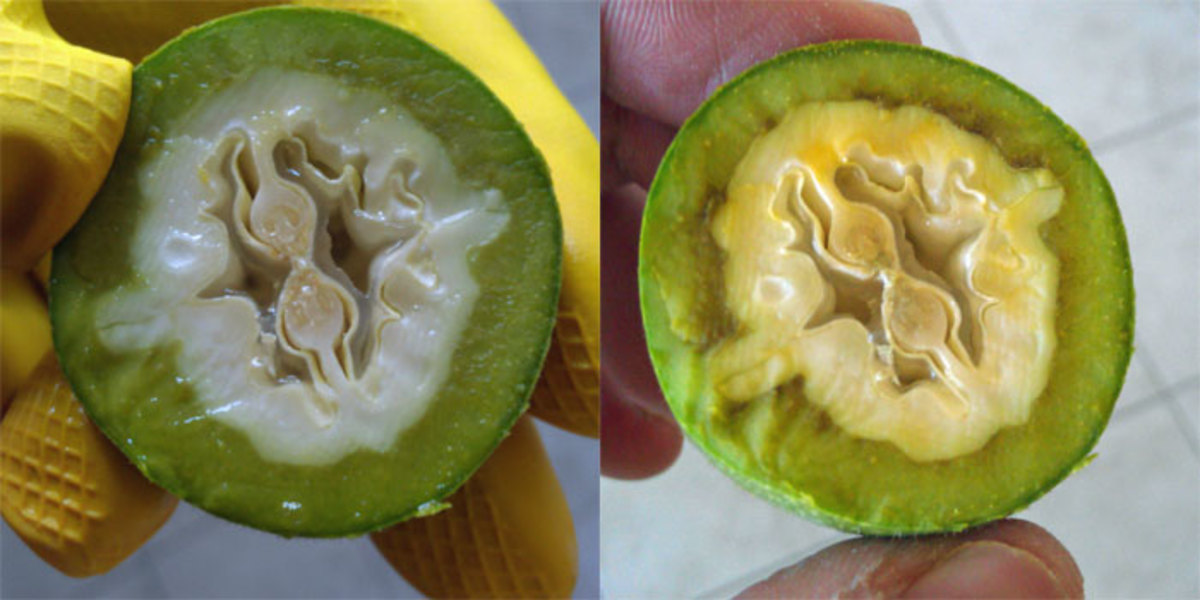 A freshly-cut green walnut, and the same walnut just 5 minutes later. Notice the rapid appearance of brown oxidation.
