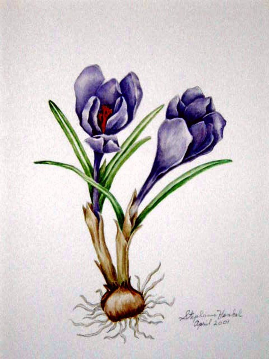 Crocus, A Sign of Spring. Water color painting by Stephanie Henkel.