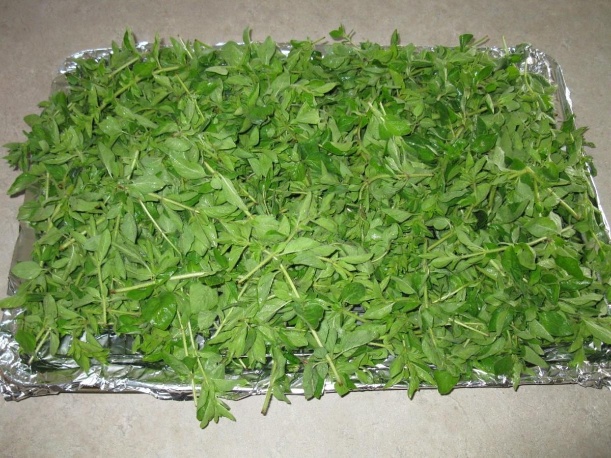 Thick tray of oregano ready to dry