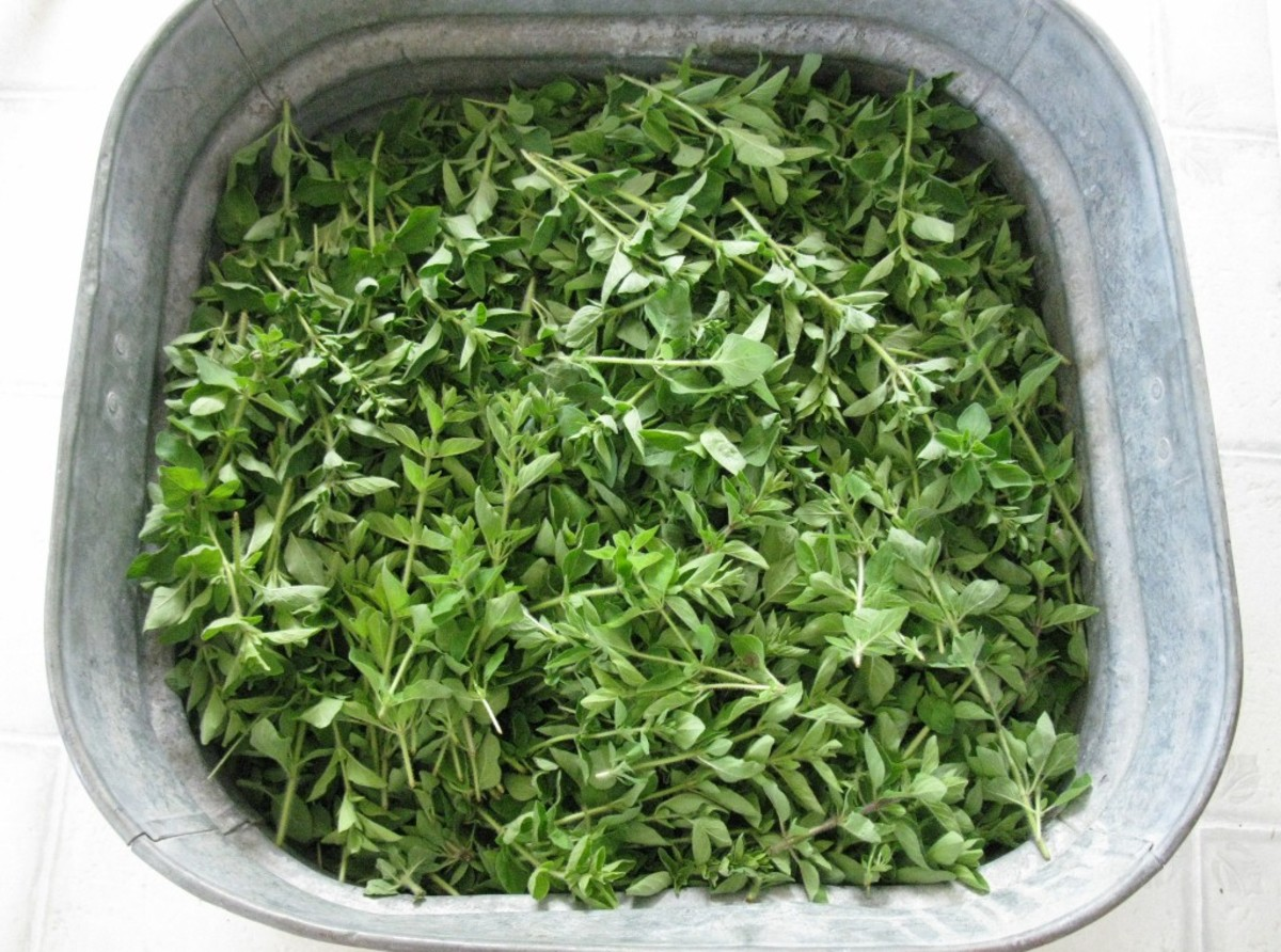 An old laundry tub full of freshly harvested oregano.
