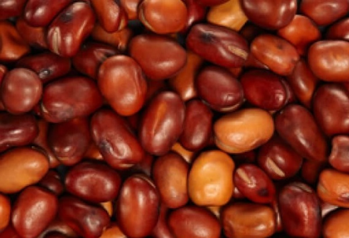 Tic Beans (Djerba Beans or 'ful tal-girba')