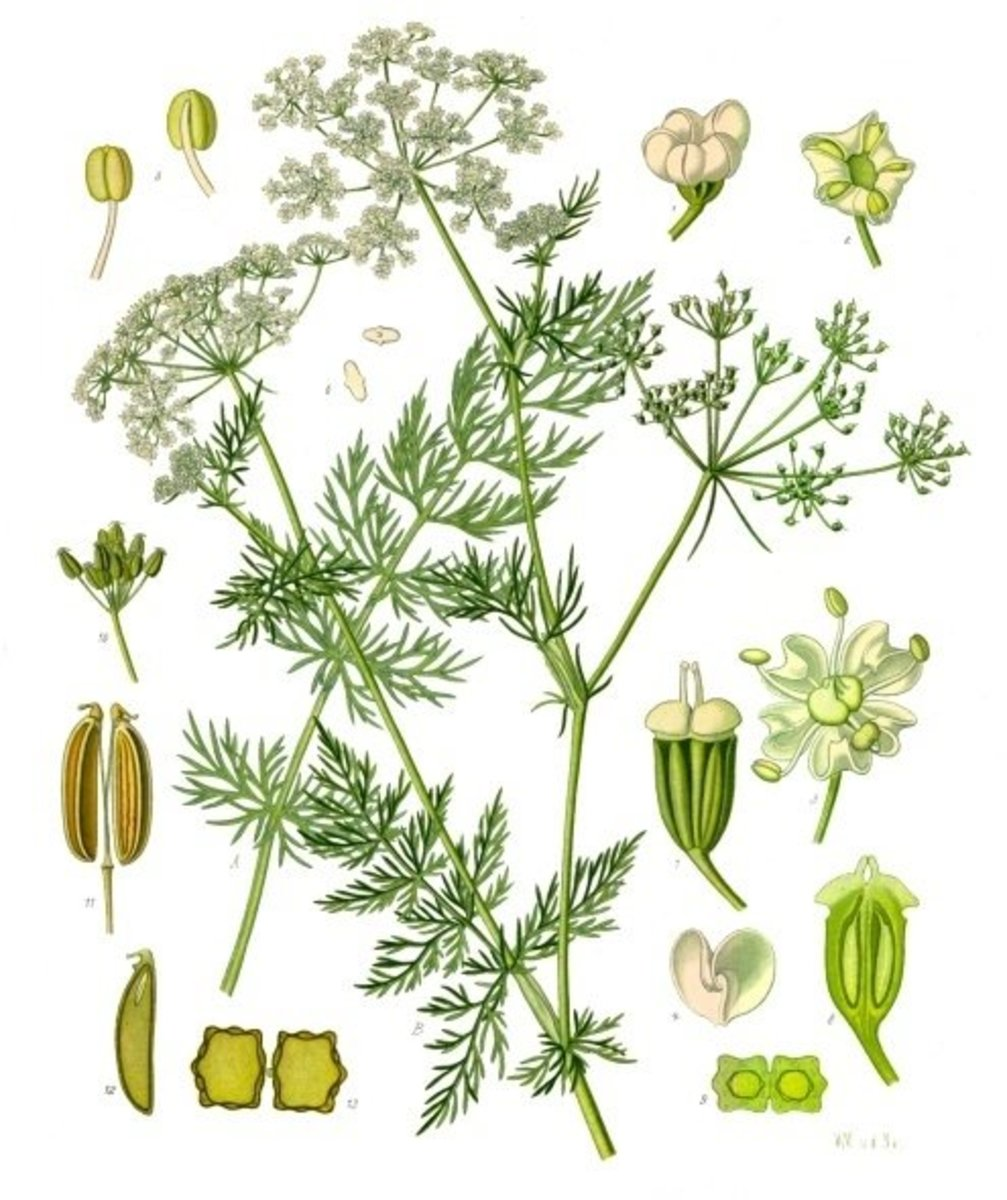 The caraway plant, or Carum carvi