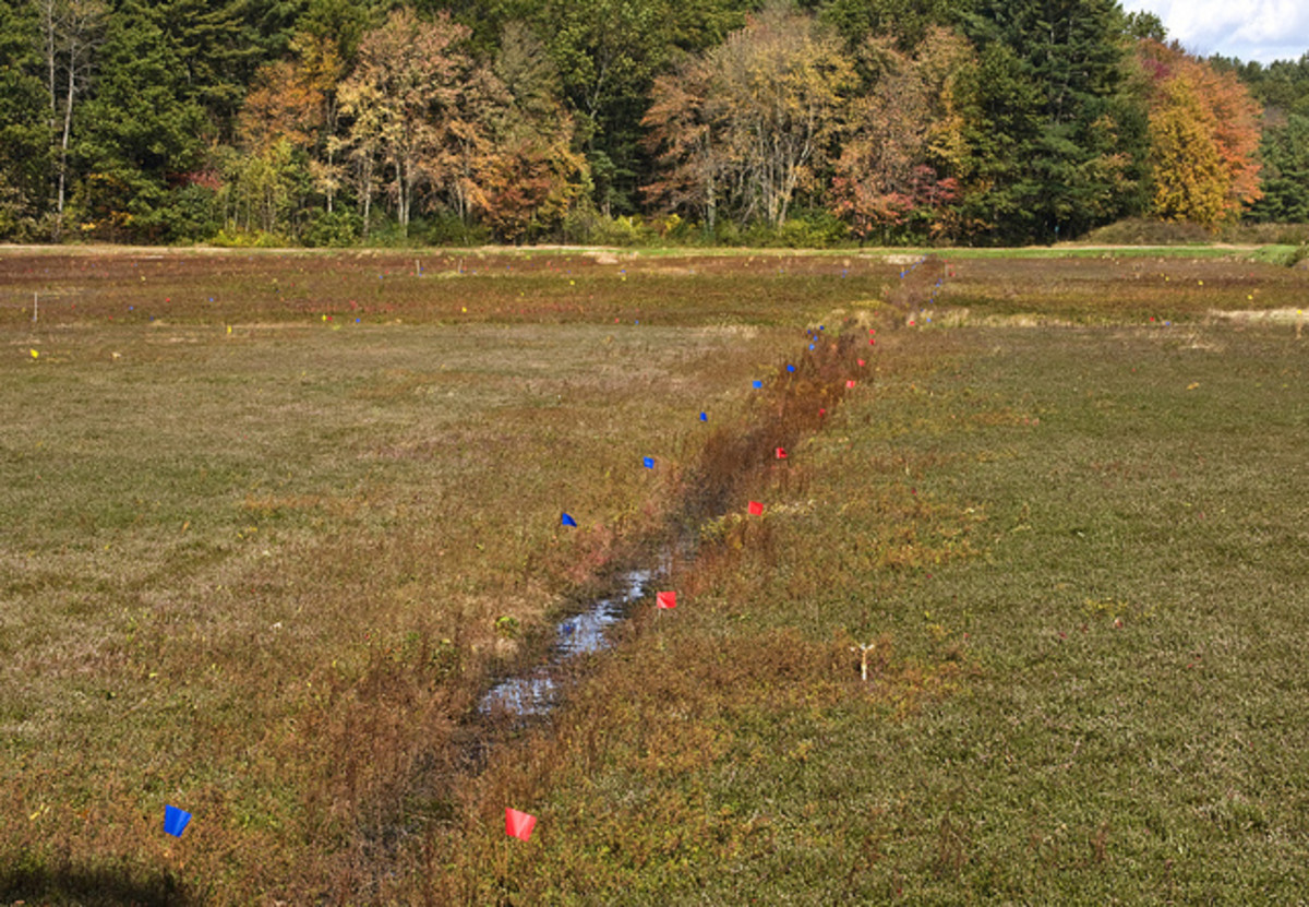 While growing, cranberries look pretty ho-hum.