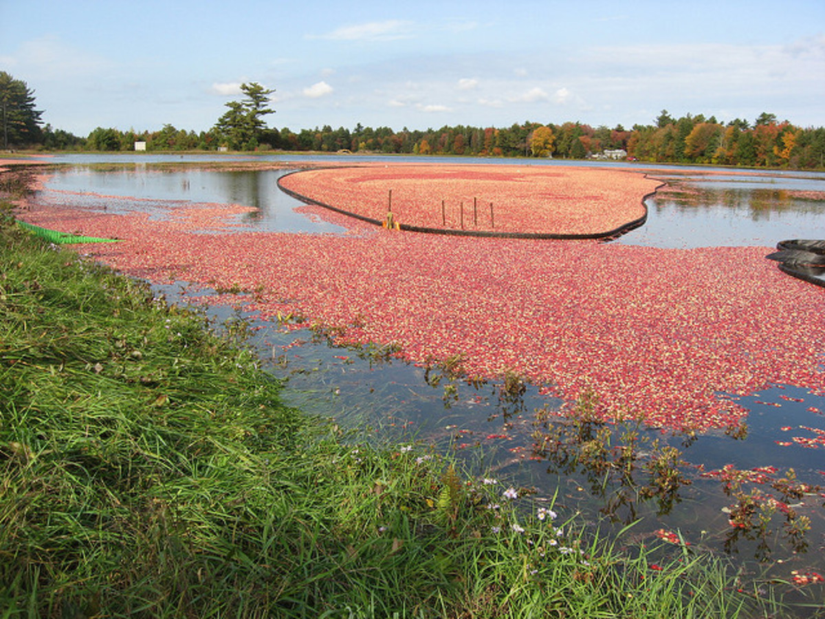 To harvest the berries, the bogs are flooded, and the berries float to the top, where they can be easily gathered.