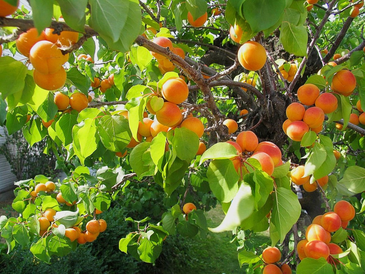 Apricot Fruits and Kernels: Potential Benefits and Dangers
