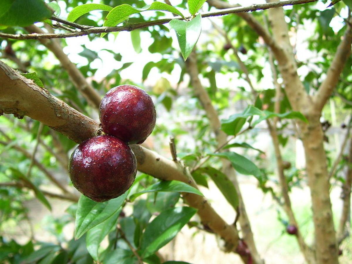 Jabuticaba (Myrciaria sp.)