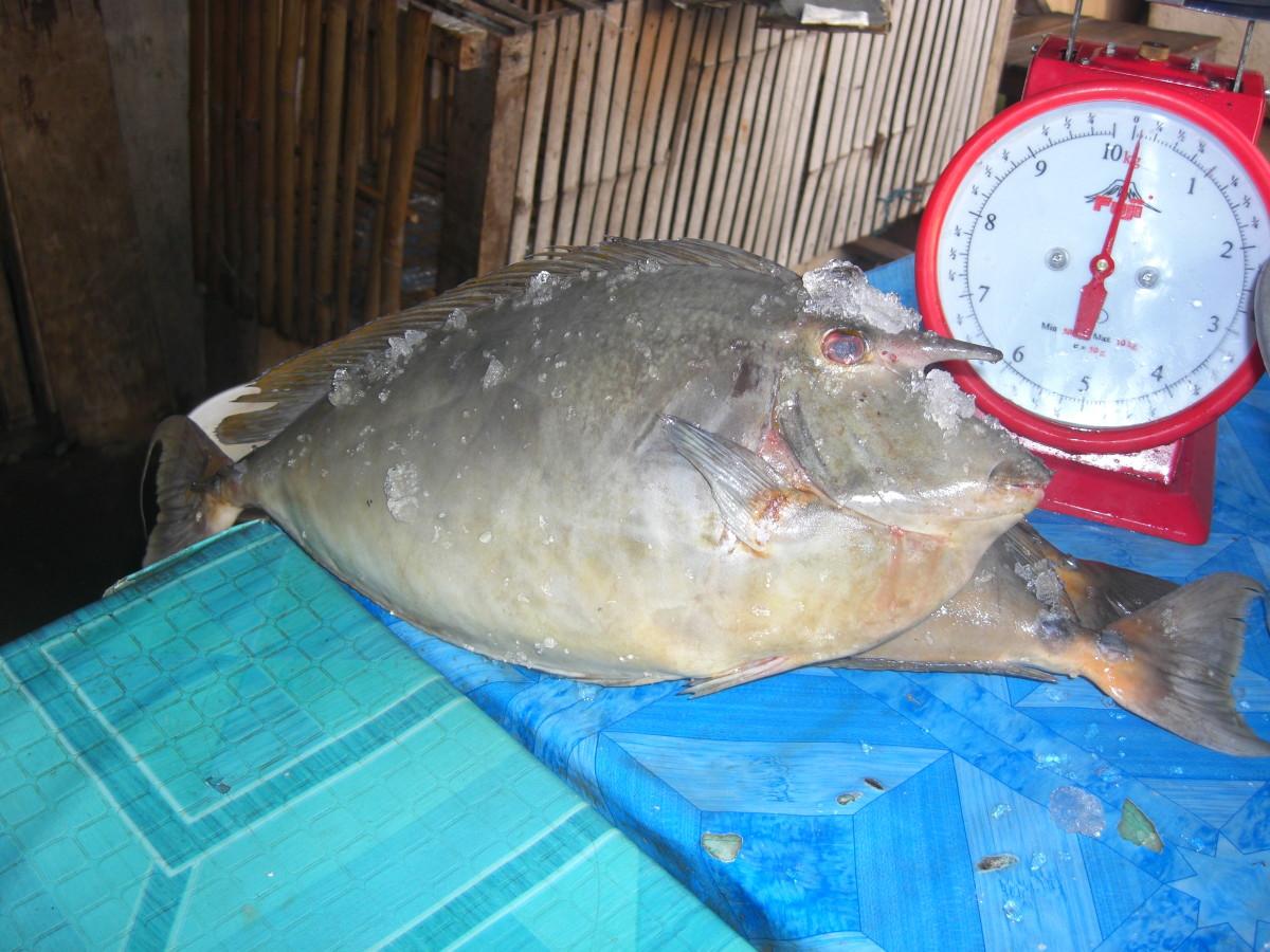 The Unicorn Fish Worth P450.00 a piece