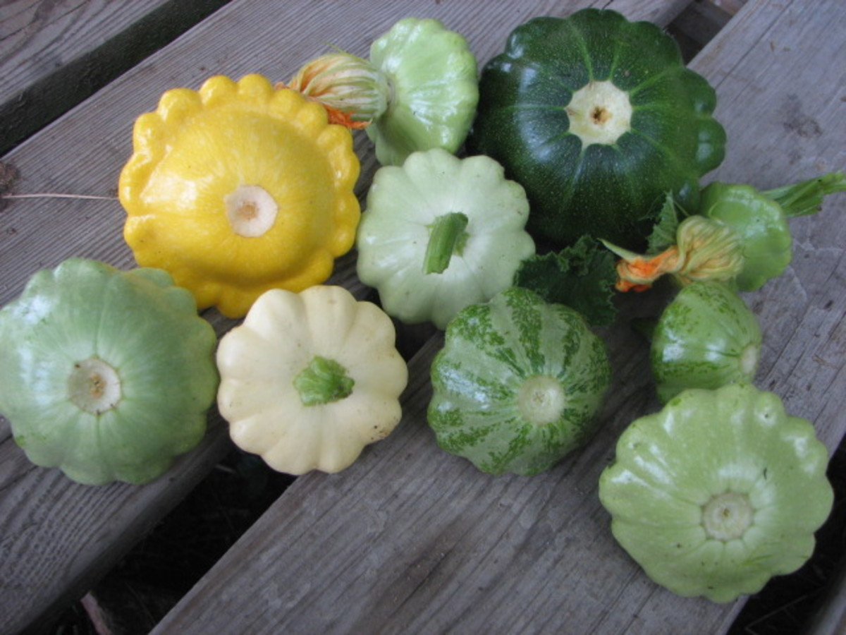 The different colors and sizes of pattypan squash.