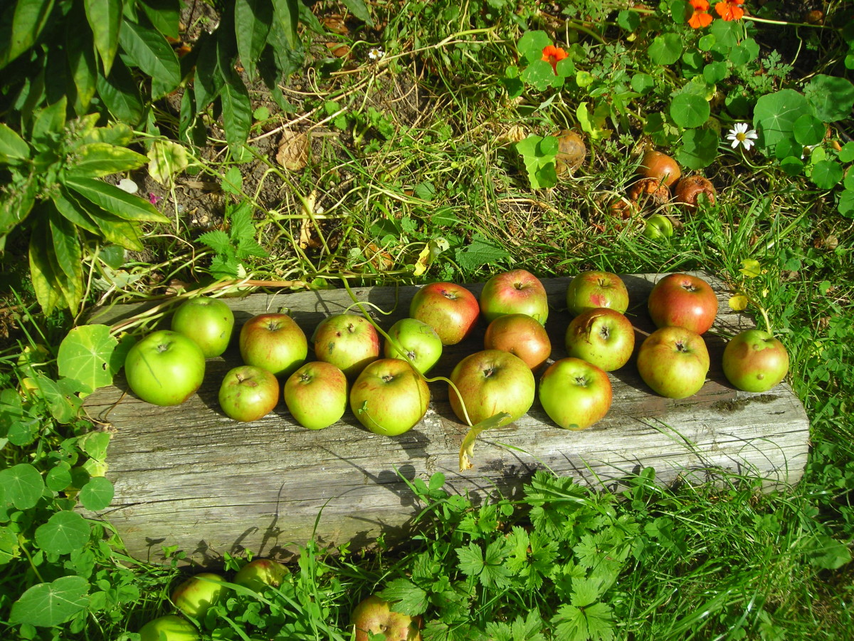 Freshly picked apples from a tree in London