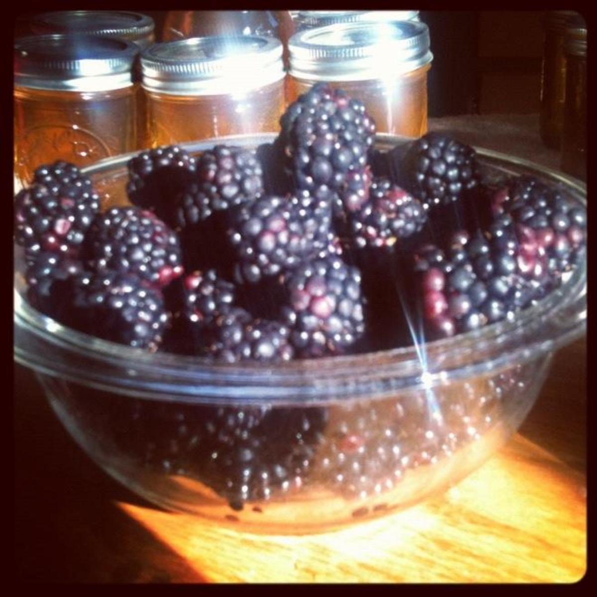 Beautiful, large blackberries that will make a fantastic blackberry preserves or jam.