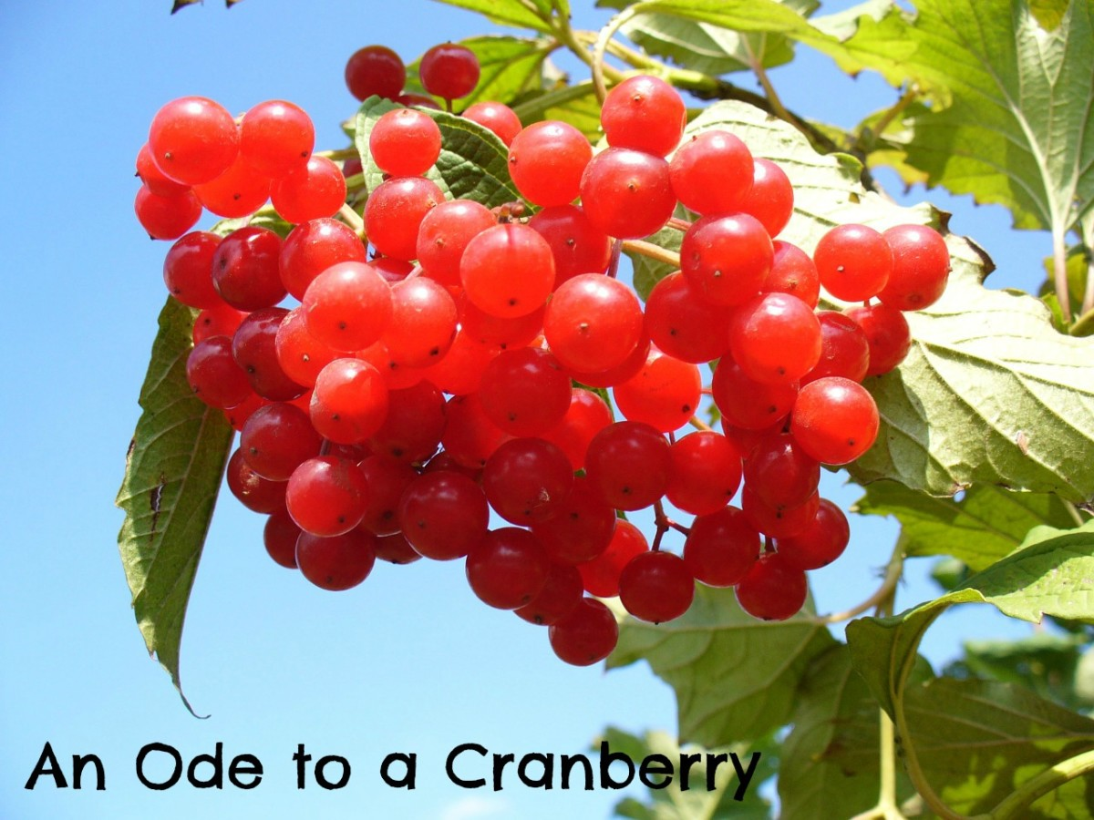 I wrote a poem of praise for cranberries.