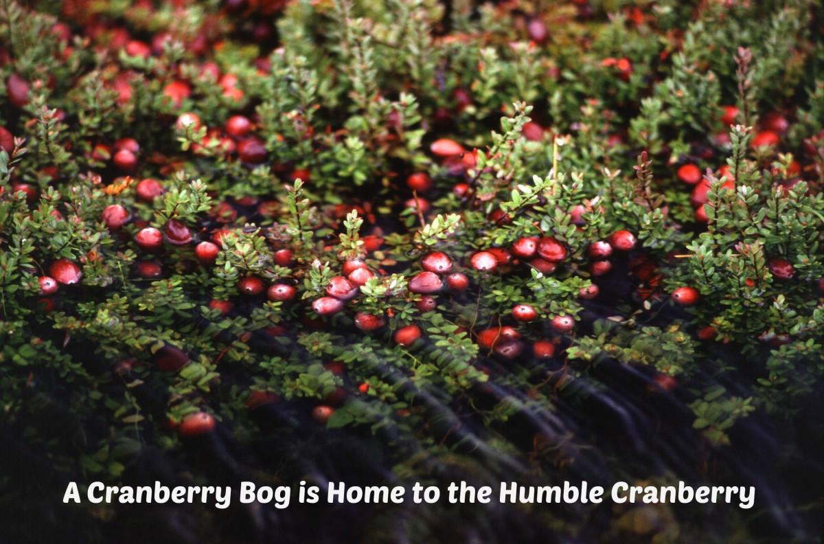 Cranberries grow on vines in marshy areas.