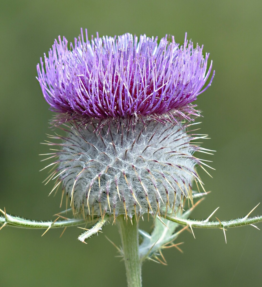 A stylized thistle flower is often imprinted on modern shortbread.