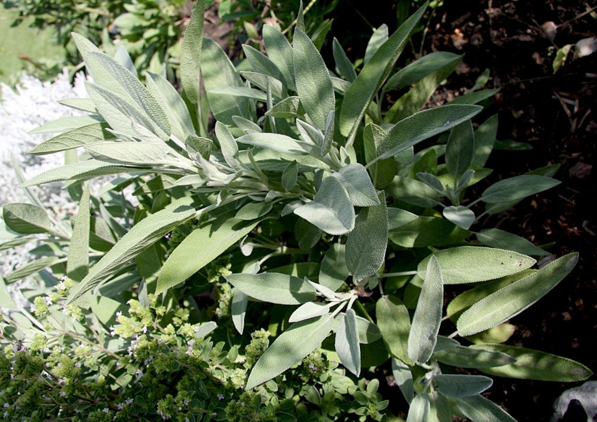 all-about-herbs-sage