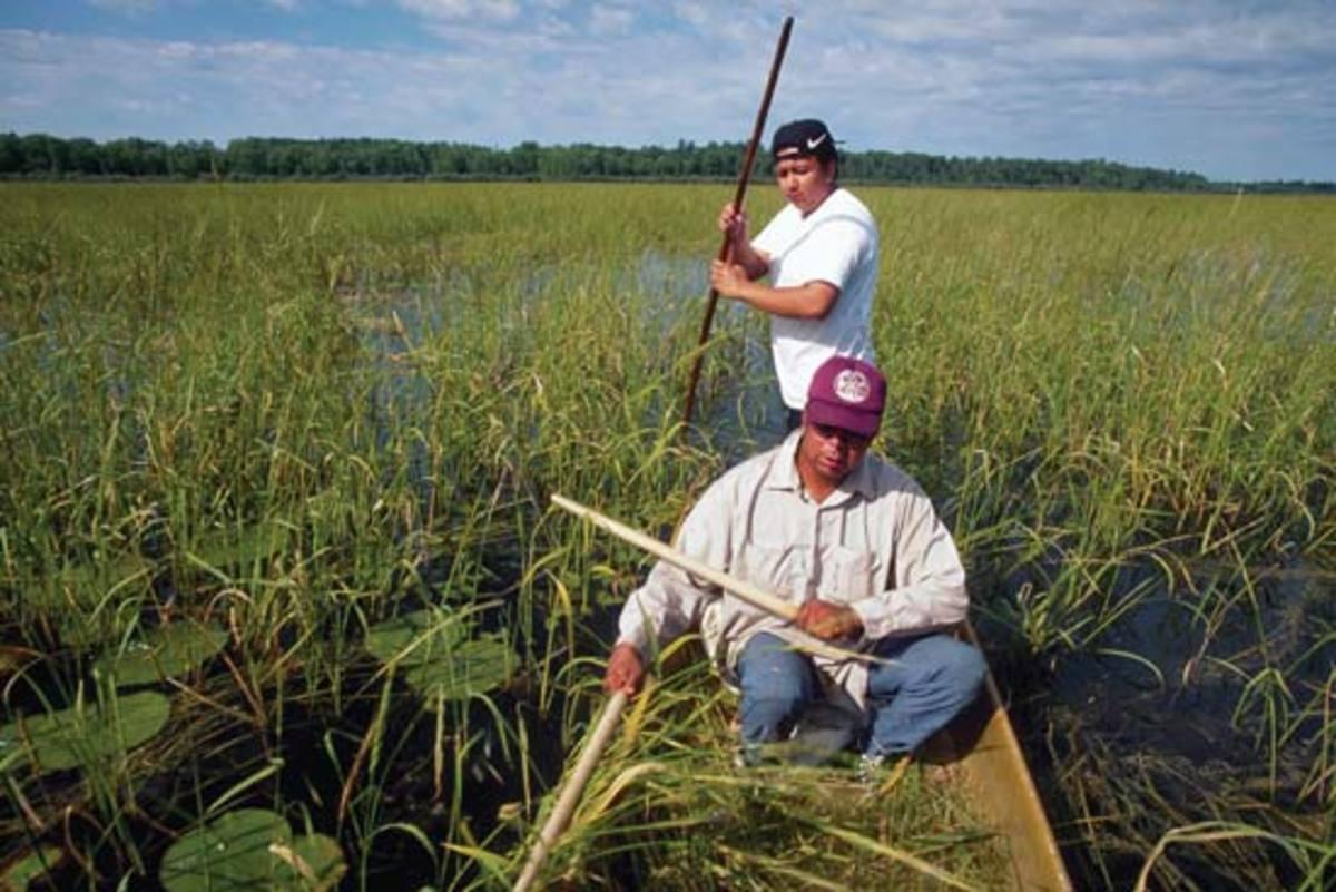 harvesting-wild-rice
