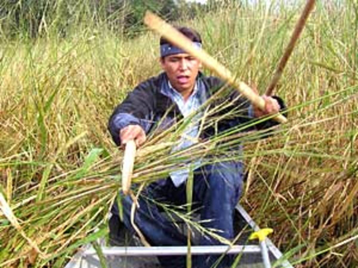 Harvesting Wild Rice Delishably