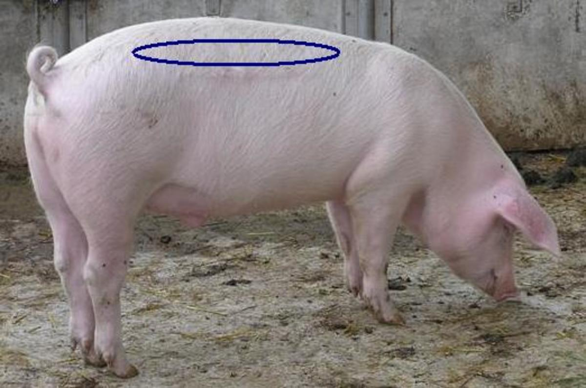 Approximate location of the tenderloin on a pig