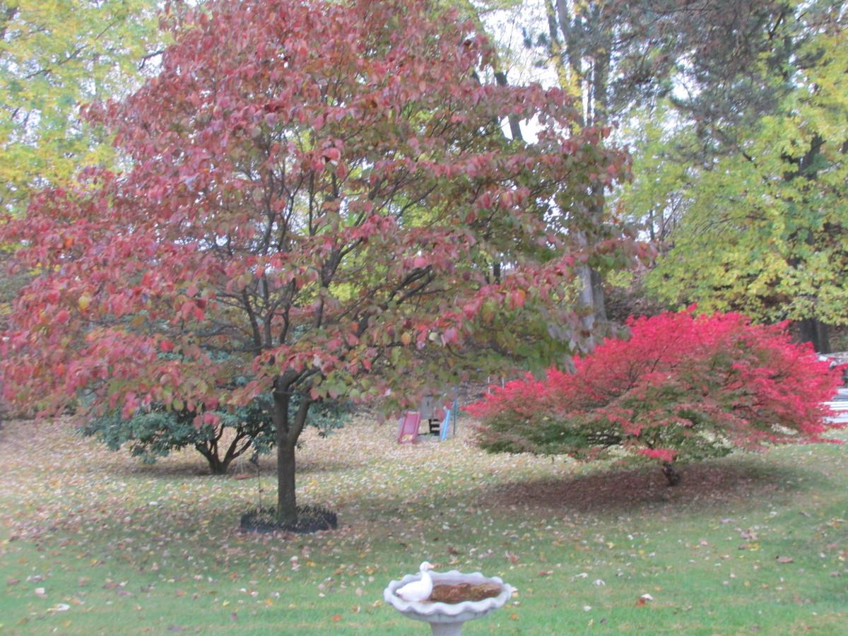 My Dogwood and Burning bush.