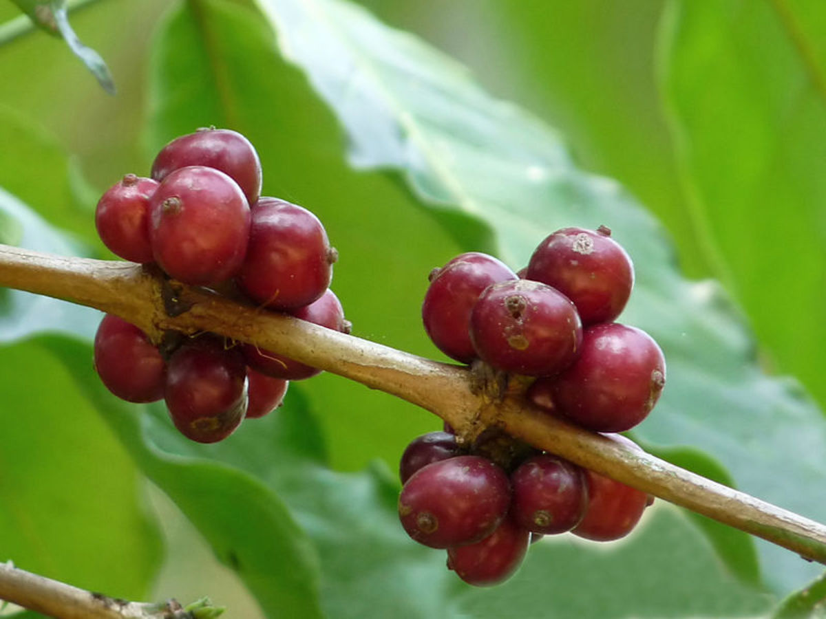 Robusta coffee begins as the Coffea canephora cherry.