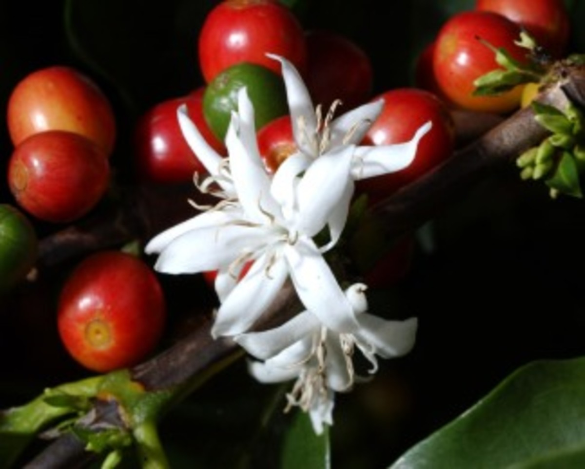 Flower and fruit, Arabic coffee cherry.