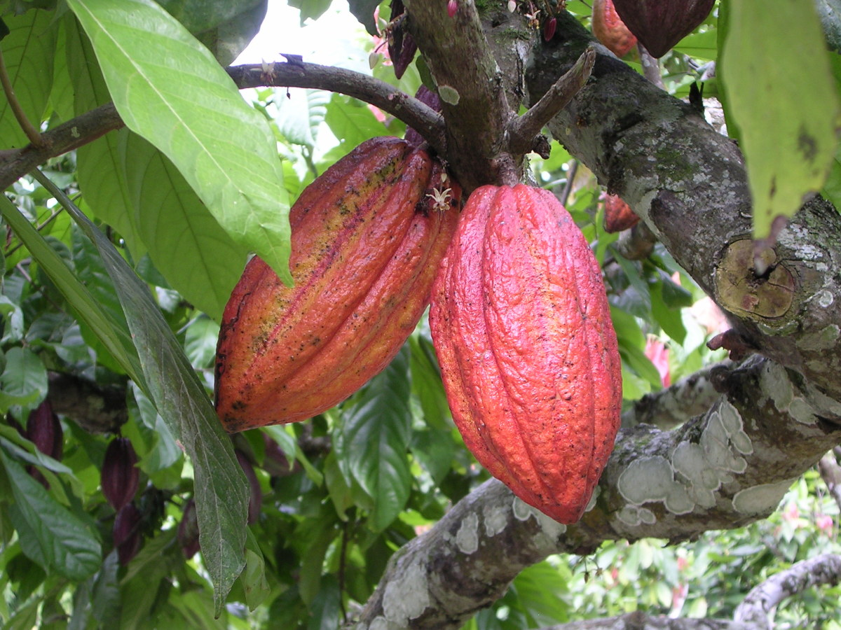 "Cacao beans from the ""chocolate tree."""