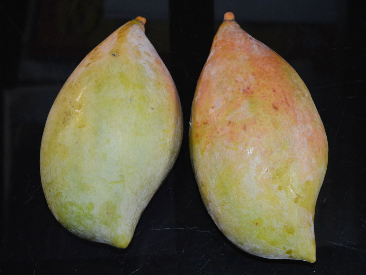 Raw Totapuri mangoes. They are mildly sweet and less sour.
