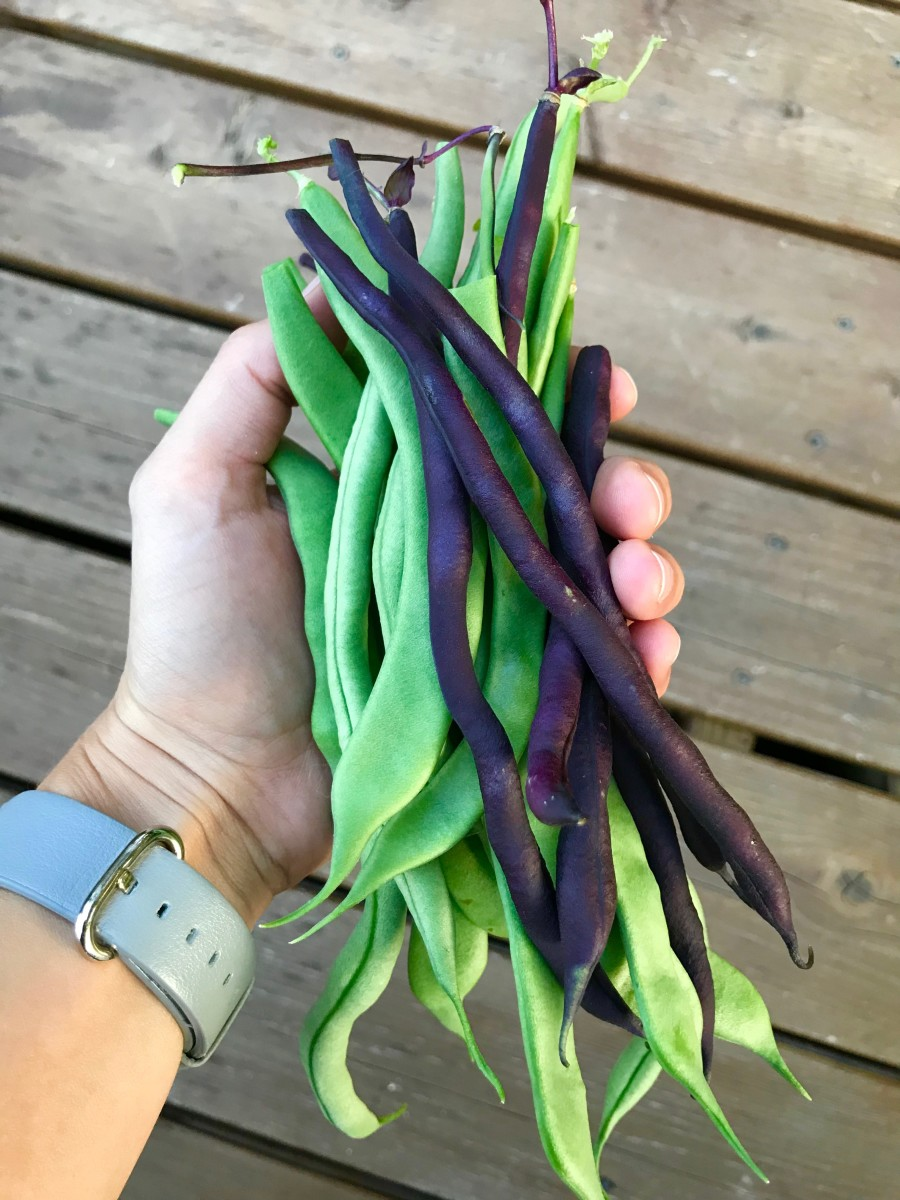 Freshly picked beans from the garden. The purple pole beans turn a bright green once cooked.