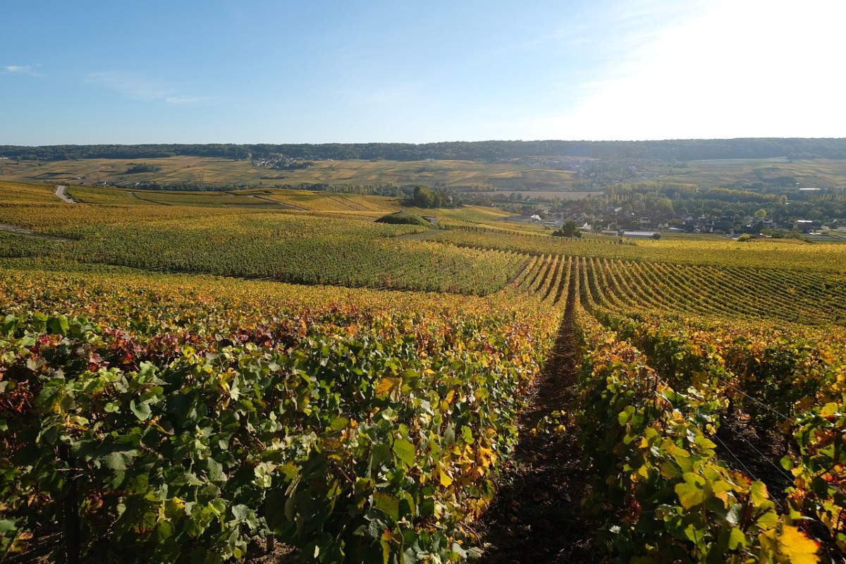 This is where Champagne is born. A French vineyard reflects the robust and centuries-old tradition of local wine making.