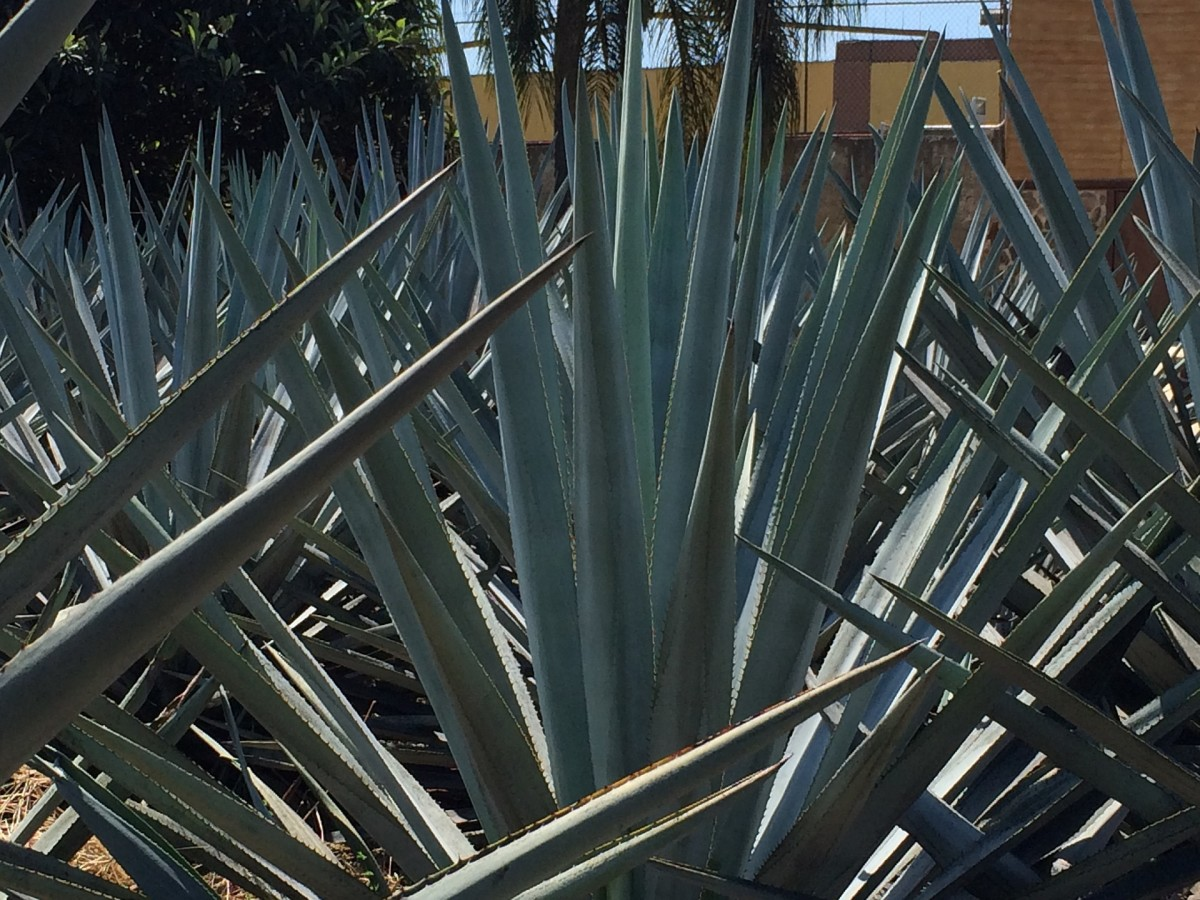 Blue Agave Garden in Tequila, Mexico