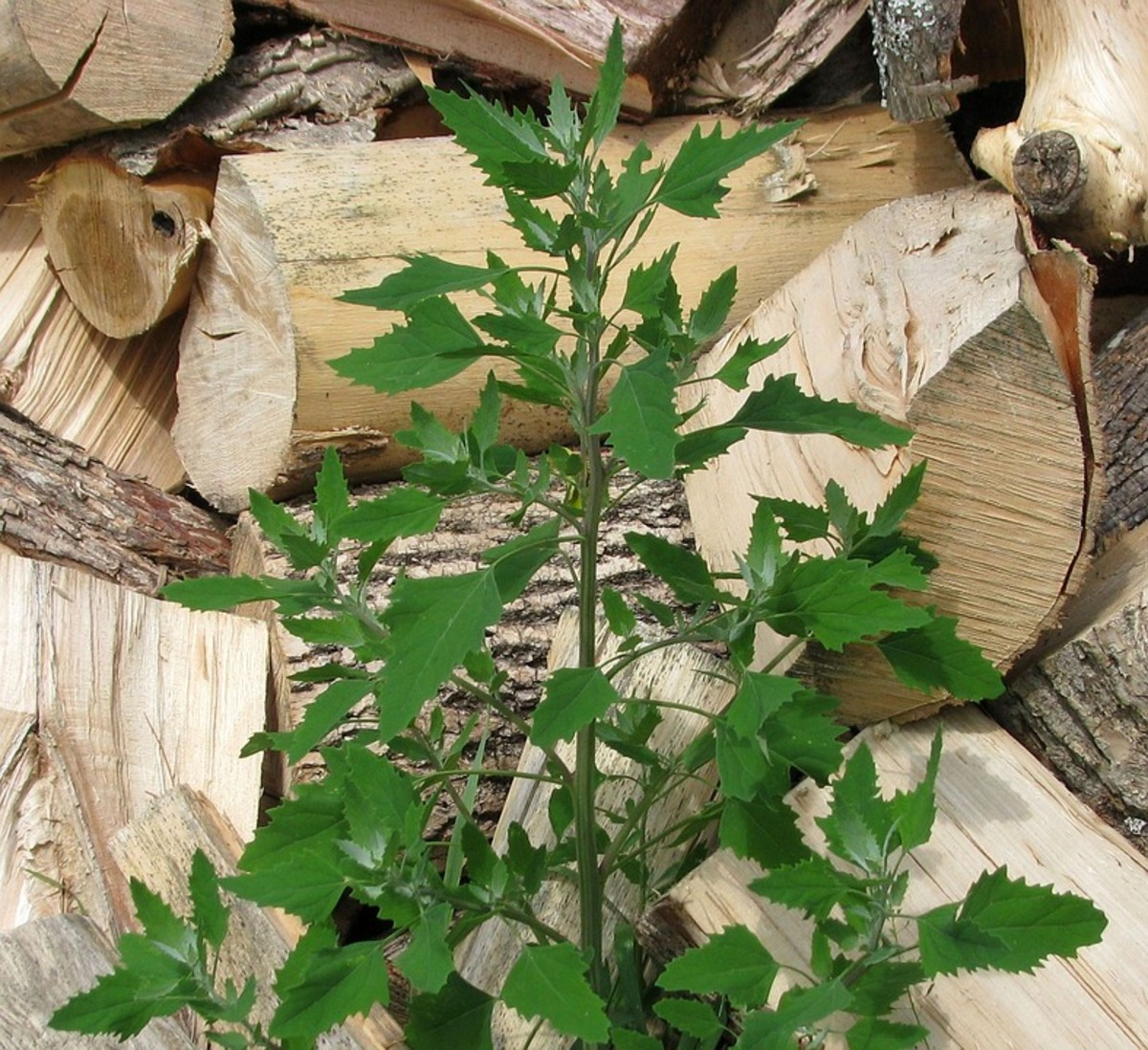 "Lamb's Quarters can by substituted in place of pig weed. In Maine, it is called the ""Prince of Wild Greens."""