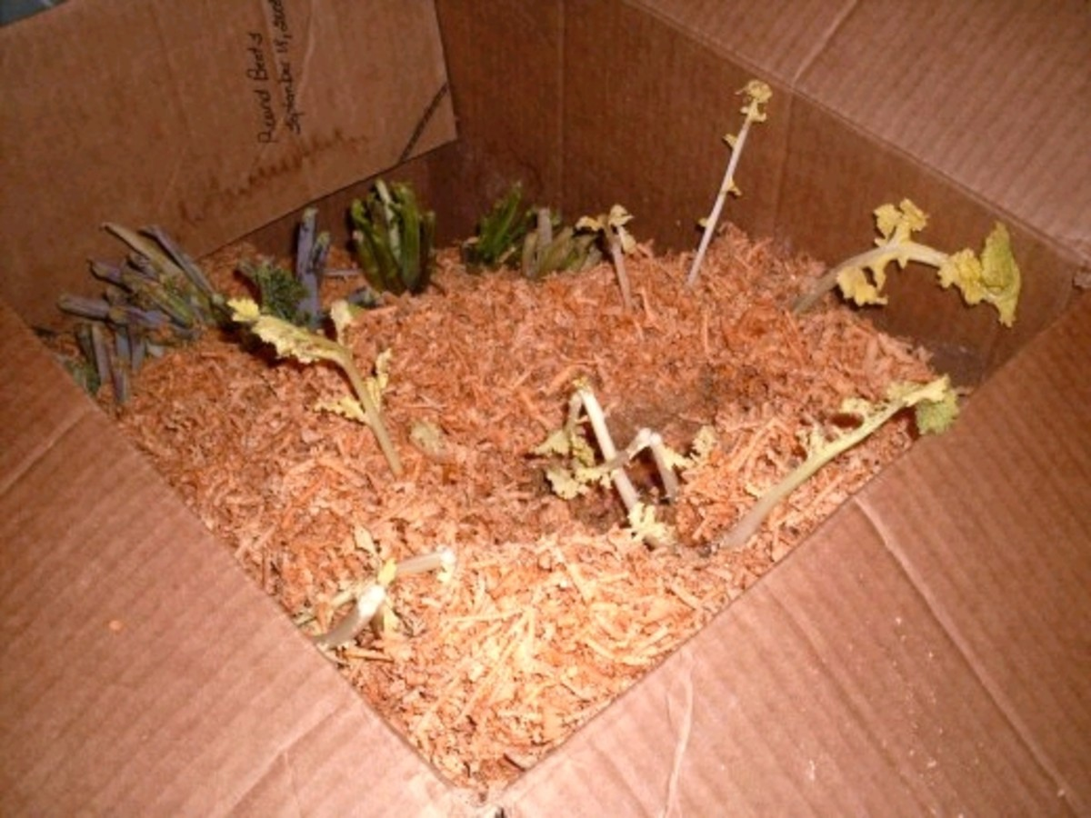 This box has turnips and rutabagas. It is normal for the plants to continue to grow a bit during warm weather, but they should not grow out of the boxes and use all the roots' energy. I used wood chips from a planer to cover them.