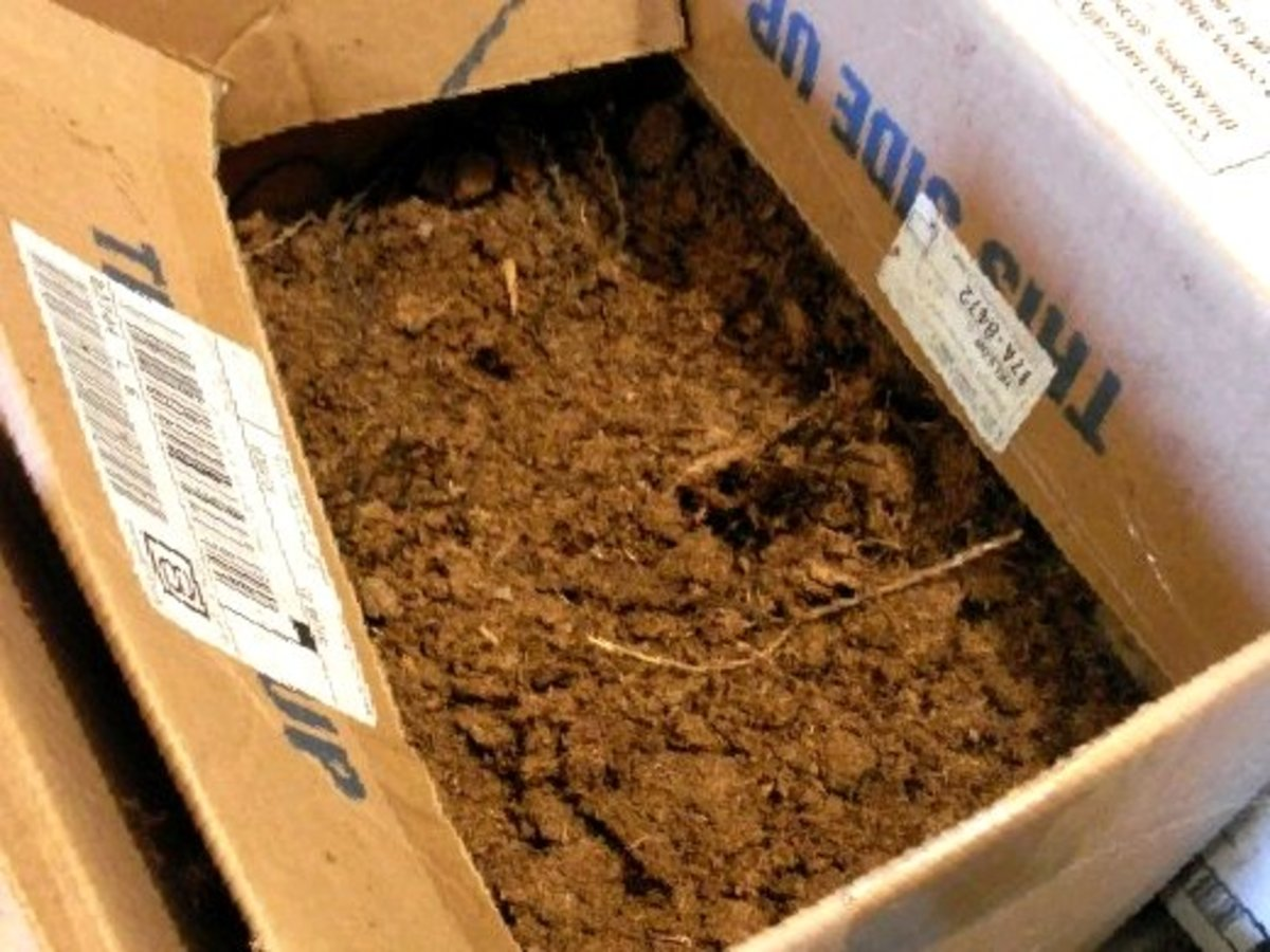 This box contains beets, and is filled with peat moss. Like the sawdust, it is kept damp. If your filler dries out, your root vegetables will too. The boxes are normally kept closed, and the cellar is usually quite dark.