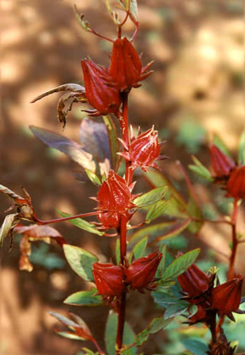 Fruits develop after flower drops.