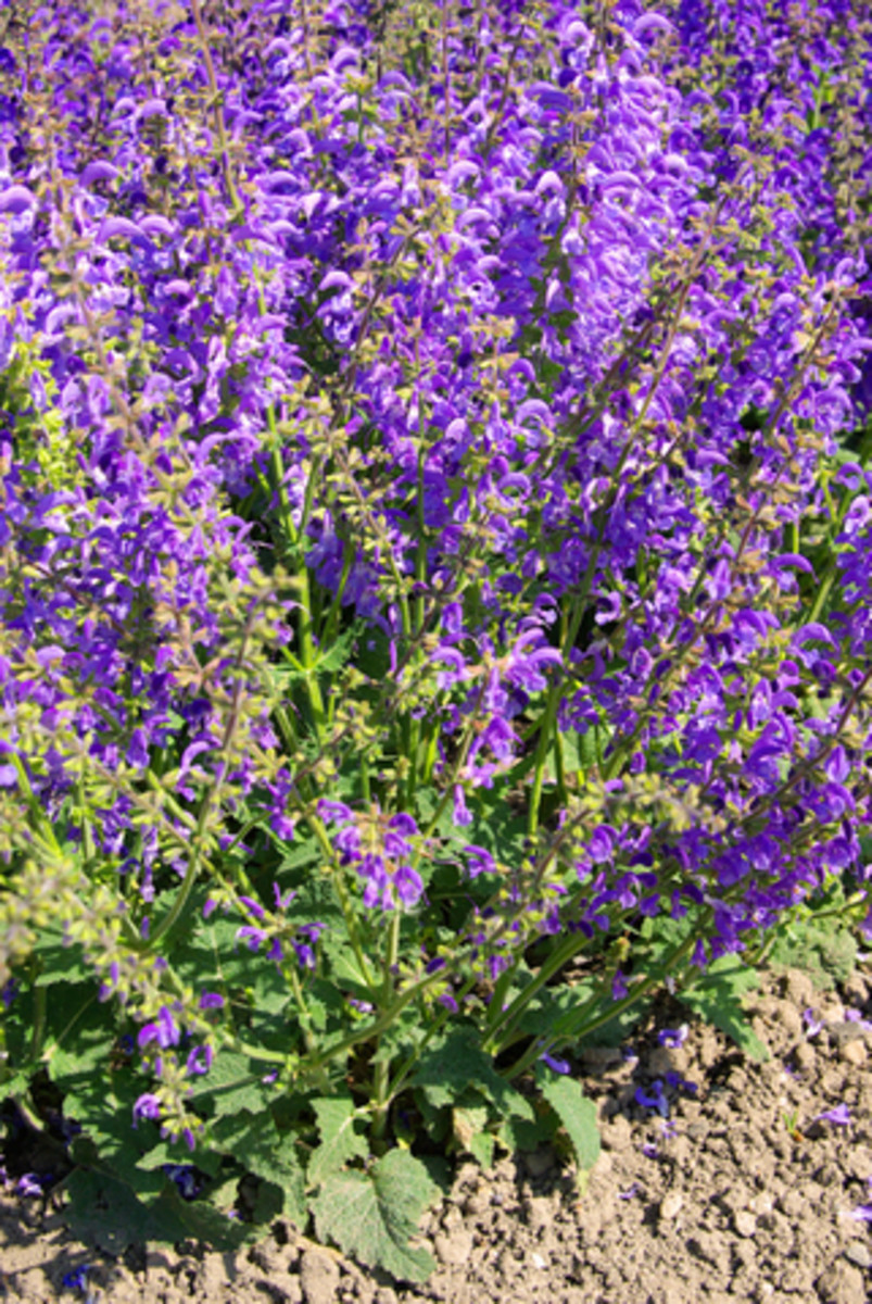 Flowering Sage.  Photo by Lianem@Dreamstime.com