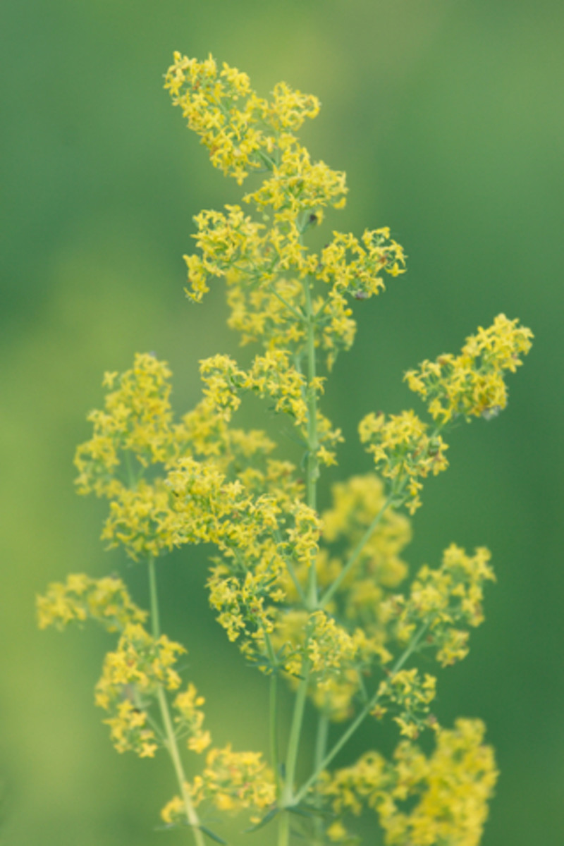 Bedstraw.  Photo by Sapegin@Dreamstime.com