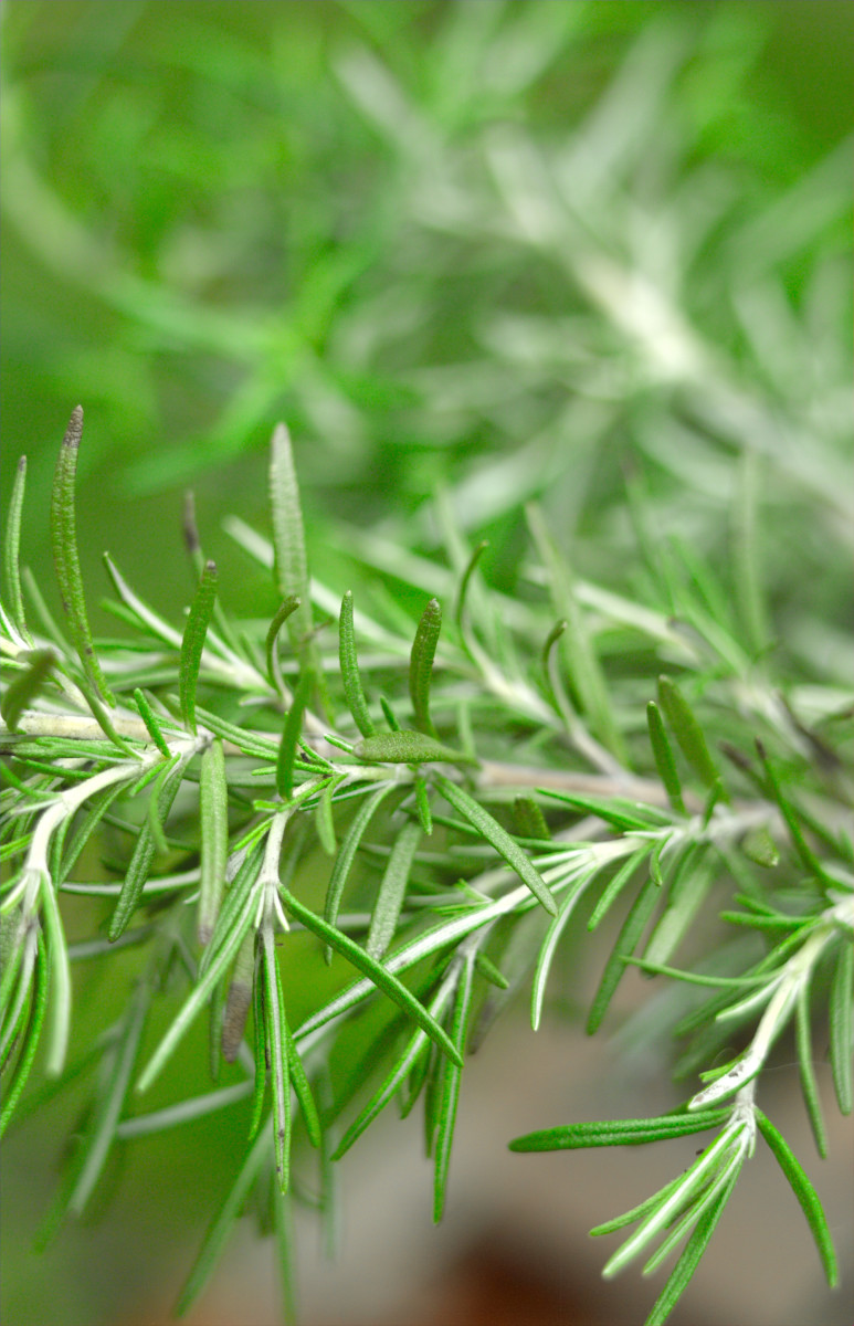 Rosemary.  Photo by Rgumus@Dreamstime.com