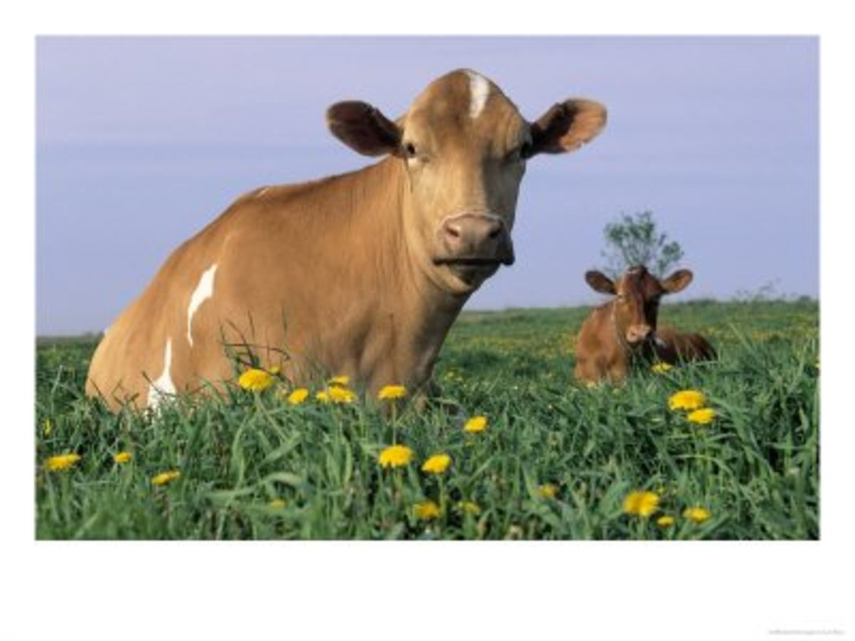 Do Guernsey or Jersey Cows Produce the Better Milk ...