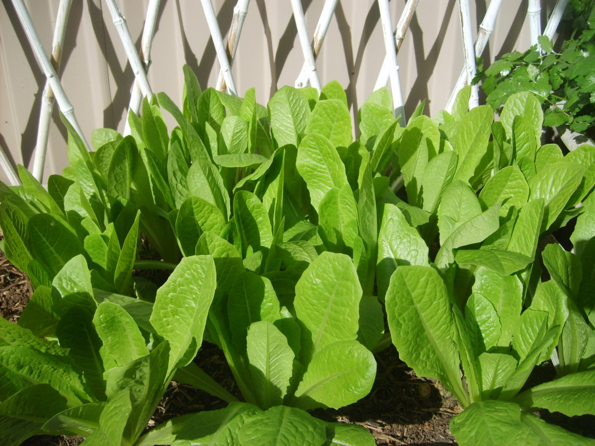 Lettuce @ My Small Garden