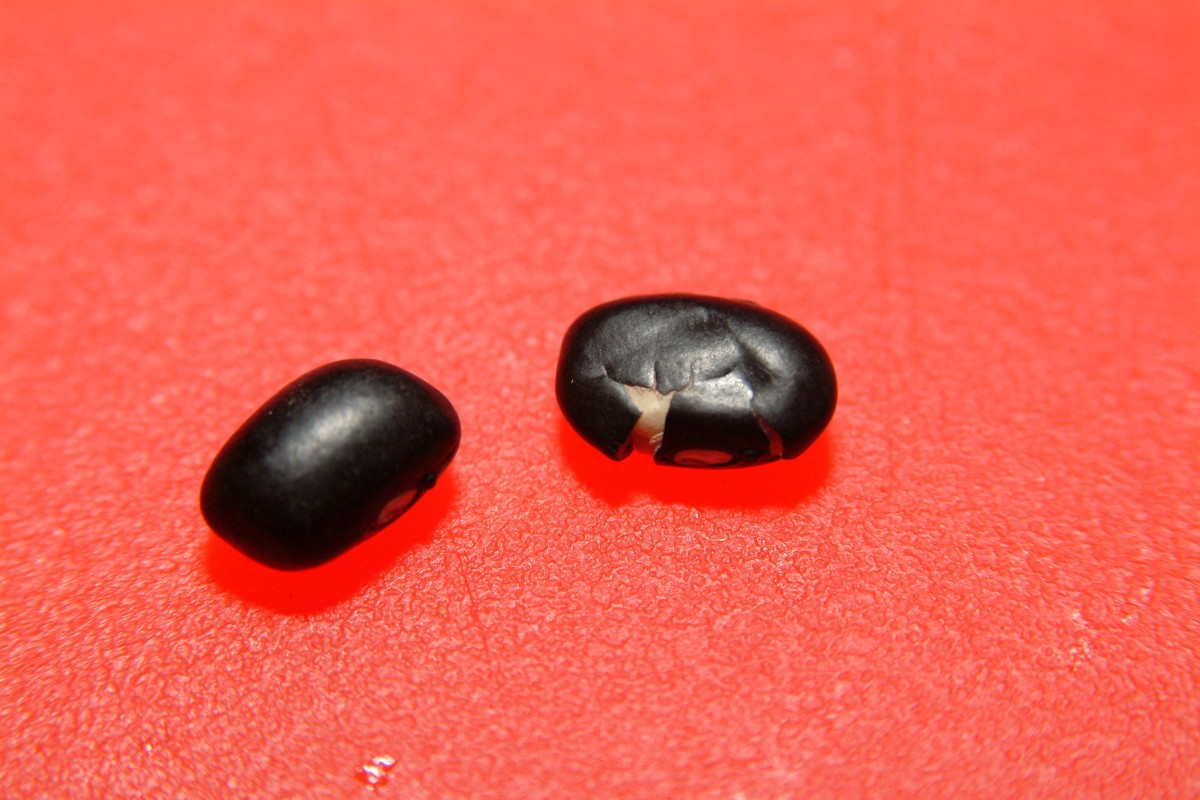 On the left is a fresh dried black bean. On the right is an older, chipped and cracked black bean. The one on the right is not a good bean to choose.