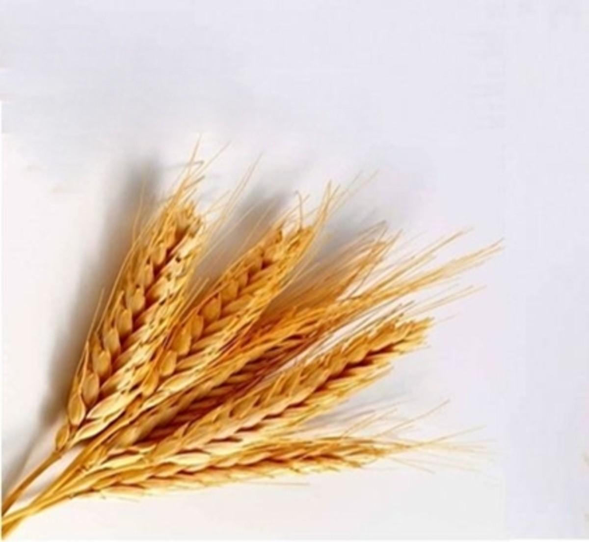 Uses of Barley and Recipes