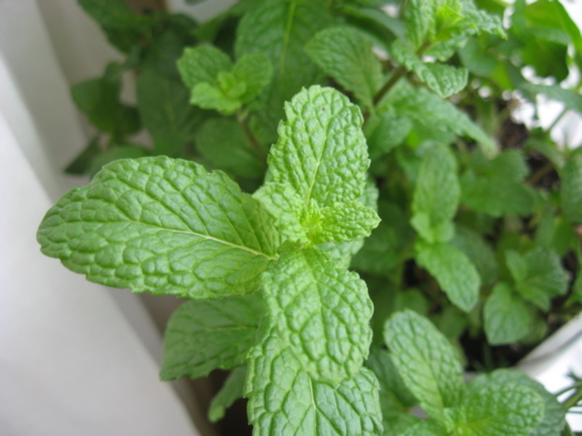 Spearmint / Photo by E. A. Wright